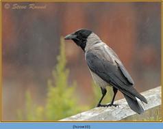 hooded-crow-10.jpg