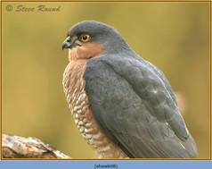 sparrowhawk-08.jpg
