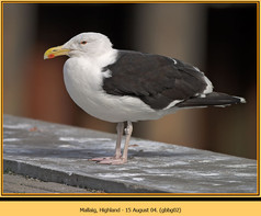 gt-b-backed-gull-02.jpg