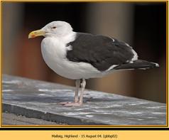 gt-b-backed-gull-02.jpg