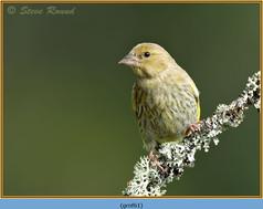 greenfinch-61.jpg