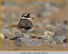 ringed-plover-22.jpg