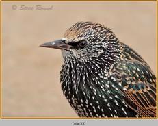 starling-33.jpg