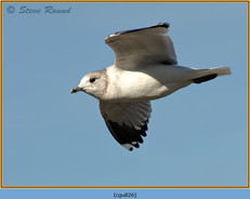 common-gull-26.jpg