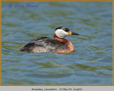 red-necked-grebe-01.jpg