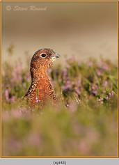 red-grouse-143.jpg