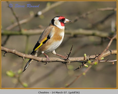 goldfinch-36.jpg