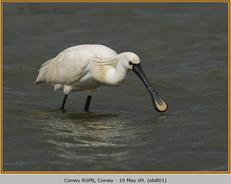 spoonbill-01.jpg