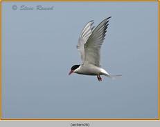 arctic-tern-26.jpg