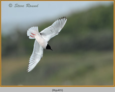 little-gull-05.jpg