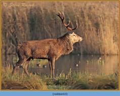 red-deer-63.jpg