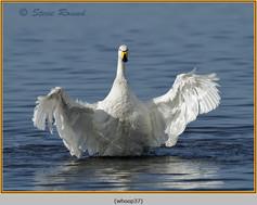 whooper-swan-37.jpg