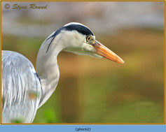 grey-heron-62.jpg