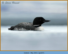 great-northern-diver-37.jpg