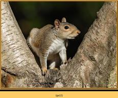 grey-squirrel-12.jpg