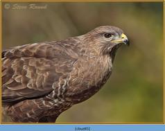 buzzard- 85.jpg