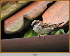 house-sparrow-28.jpg