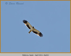 booted-eagle-02.jpg