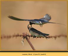 swallow-14.jpg