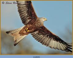 red-kite-60.jpg