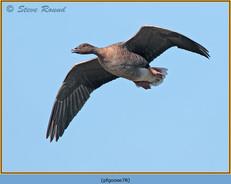 pink-footed-goose-78.jpg