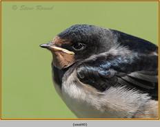 swallow-40.jpg