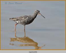 spotted-redshank-28.jpg