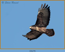 buzzard- 74.jpg
