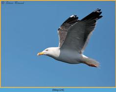 lesser-black-backed-gull-124.jpg