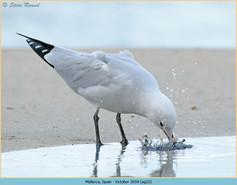 audouin's-gull-23.jpg