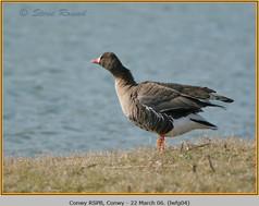 lesser-w-f-goose-04.jpg