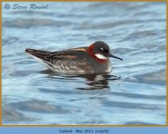 red-necked-phalarope-29.jpg