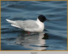 little-gull-42.jpg