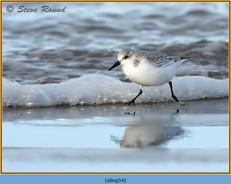 sanderling-54.jpg