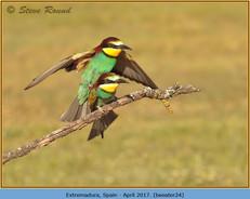 bee-eater-24.jpg