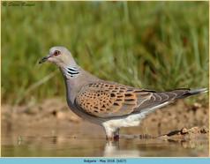 turtle-dove-27.jpg