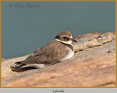 ringed-plover-50.jpg