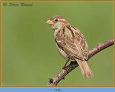 house-sparrow-72.jpg