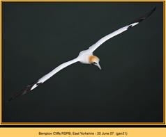 gannet-31.jpg