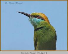 green-bee-eater-04.jpg