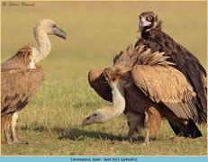 griffon-vulture-51.jpg