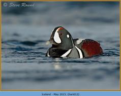 harlequin-duck-12.jpg
