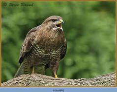 buzzard- 89.jpg