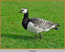 barnacle-goose-01.jpg