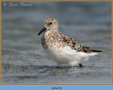 sanderling-76.jpg