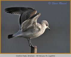 common-gull-10.jpg
