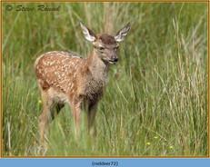 red-deer-72.jpg