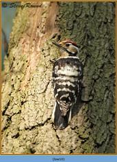 lesser-spotted-woodpecker-10.jpg