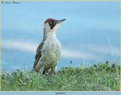 green-woodpecker-27.jpg