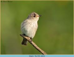 spotted-flycatcher-29.jpg